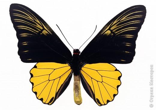 """По просьбам """"трудящихся"""" выкладываю фото настоящих бабочек. Может кого нибудь вдохновит на создания какого-нибудь шедевра. Включайте свою фантазию и творите - лепите и расписывайте ( как это сделала я), вышивайте, рисуйте и т.п.  Желаю всем удачи и творческого вдохновения! фото 54"""
