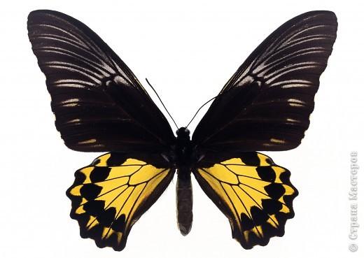 """По просьбам """"трудящихся"""" выкладываю фото настоящих бабочек. Может кого нибудь вдохновит на создания какого-нибудь шедевра. Включайте свою фантазию и творите - лепите и расписывайте ( как это сделала я), вышивайте, рисуйте и т.п.  Желаю всем удачи и творческого вдохновения! фото 55"""