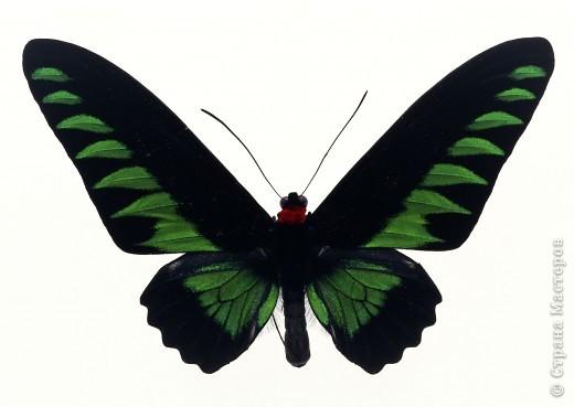 """По просьбам """"трудящихся"""" выкладываю фото настоящих бабочек. Может кого нибудь вдохновит на создания какого-нибудь шедевра. Включайте свою фантазию и творите - лепите и расписывайте ( как это сделала я), вышивайте, рисуйте и т.п.  Желаю всем удачи и творческого вдохновения! фото 56"""