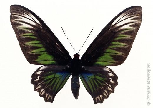 """По просьбам """"трудящихся"""" выкладываю фото настоящих бабочек. Может кого нибудь вдохновит на создания какого-нибудь шедевра. Включайте свою фантазию и творите - лепите и расписывайте ( как это сделала я), вышивайте, рисуйте и т.п.  Желаю всем удачи и творческого вдохновения! фото 57"""