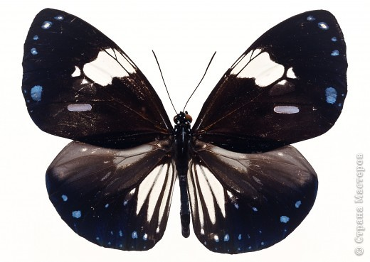 """По просьбам """"трудящихся"""" выкладываю фото настоящих бабочек. Может кого нибудь вдохновит на создания какого-нибудь шедевра. Включайте свою фантазию и творите - лепите и расписывайте ( как это сделала я), вышивайте, рисуйте и т.п.  Желаю всем удачи и творческого вдохновения! фото 58"""