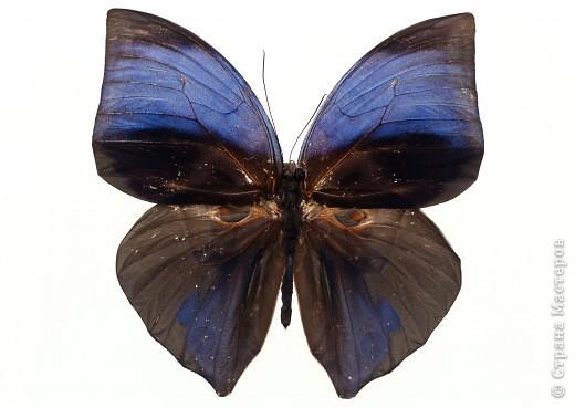 """По просьбам """"трудящихся"""" выкладываю фото настоящих бабочек. Может кого нибудь вдохновит на создания какого-нибудь шедевра. Включайте свою фантазию и творите - лепите и расписывайте ( как это сделала я), вышивайте, рисуйте и т.п.  Желаю всем удачи и творческого вдохновения! фото 59"""