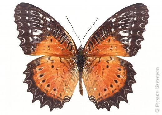 """По просьбам """"трудящихся"""" выкладываю фото настоящих бабочек. Может кого нибудь вдохновит на создания какого-нибудь шедевра. Включайте свою фантазию и творите - лепите и расписывайте ( как это сделала я), вышивайте, рисуйте и т.п.  Желаю всем удачи и творческого вдохновения! фото 61"""