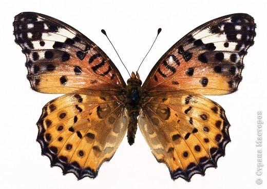 """По просьбам """"трудящихся"""" выкладываю фото настоящих бабочек. Может кого нибудь вдохновит на создания какого-нибудь шедевра. Включайте свою фантазию и творите - лепите и расписывайте ( как это сделала я), вышивайте, рисуйте и т.п.  Желаю всем удачи и творческого вдохновения! фото 62"""