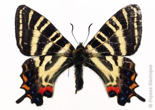 """По просьбам """"трудящихся"""" выкладываю фото настоящих бабочек. Может кого нибудь вдохновит на создания какого-нибудь шедевра. Включайте свою фантазию и творите - лепите и расписывайте ( как это сделала я), вышивайте, рисуйте и т.п.  Желаю всем удачи и творческого вдохновения! фото 63"""