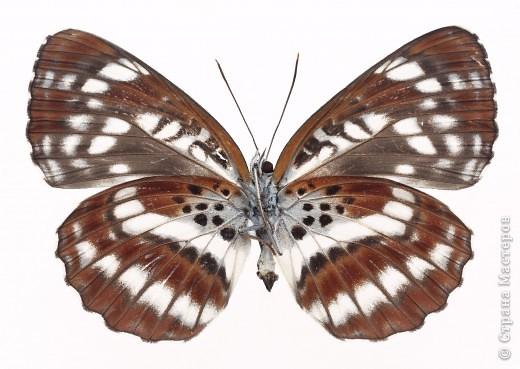 """По просьбам """"трудящихся"""" выкладываю фото настоящих бабочек. Может кого нибудь вдохновит на создания какого-нибудь шедевра. Включайте свою фантазию и творите - лепите и расписывайте ( как это сделала я), вышивайте, рисуйте и т.п.  Желаю всем удачи и творческого вдохновения! фото 64"""