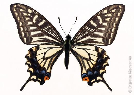 """По просьбам """"трудящихся"""" выкладываю фото настоящих бабочек. Может кого нибудь вдохновит на создания какого-нибудь шедевра. Включайте свою фантазию и творите - лепите и расписывайте ( как это сделала я), вышивайте, рисуйте и т.п.  Желаю всем удачи и творческого вдохновения! фото 65"""