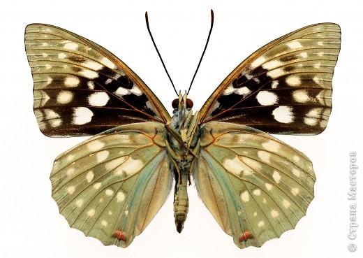 """По просьбам """"трудящихся"""" выкладываю фото настоящих бабочек. Может кого нибудь вдохновит на создания какого-нибудь шедевра. Включайте свою фантазию и творите - лепите и расписывайте ( как это сделала я), вышивайте, рисуйте и т.п.  Желаю всем удачи и творческого вдохновения! фото 66"""