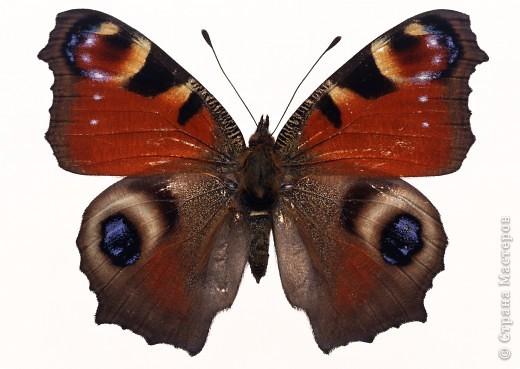 """По просьбам """"трудящихся"""" выкладываю фото настоящих бабочек. Может кого нибудь вдохновит на создания какого-нибудь шедевра. Включайте свою фантазию и творите - лепите и расписывайте ( как это сделала я), вышивайте, рисуйте и т.п.  Желаю всем удачи и творческого вдохновения! фото 67"""