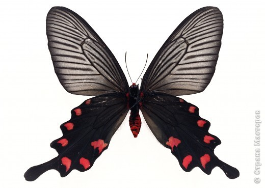 """По просьбам """"трудящихся"""" выкладываю фото настоящих бабочек. Может кого нибудь вдохновит на создания какого-нибудь шедевра. Включайте свою фантазию и творите - лепите и расписывайте ( как это сделала я), вышивайте, рисуйте и т.п.  Желаю всем удачи и творческого вдохновения! фото 68"""