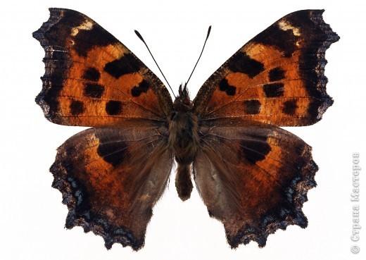 """По просьбам """"трудящихся"""" выкладываю фото настоящих бабочек. Может кого нибудь вдохновит на создания какого-нибудь шедевра. Включайте свою фантазию и творите - лепите и расписывайте ( как это сделала я), вышивайте, рисуйте и т.п.  Желаю всем удачи и творческого вдохновения! фото 69"""