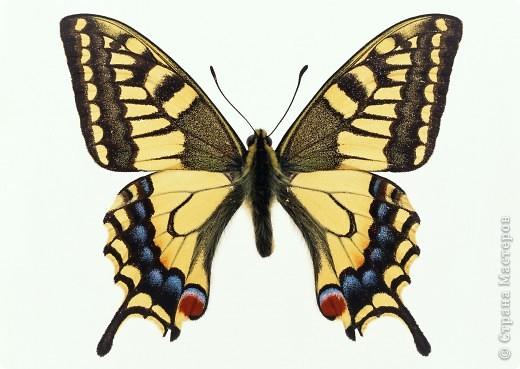 """По просьбам """"трудящихся"""" выкладываю фото настоящих бабочек. Может кого нибудь вдохновит на создания какого-нибудь шедевра. Включайте свою фантазию и творите - лепите и расписывайте ( как это сделала я), вышивайте, рисуйте и т.п.  Желаю всем удачи и творческого вдохновения! фото 70"""