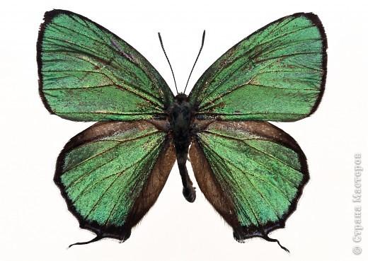 """По просьбам """"трудящихся"""" выкладываю фото настоящих бабочек. Может кого нибудь вдохновит на создания какого-нибудь шедевра. Включайте свою фантазию и творите - лепите и расписывайте ( как это сделала я), вышивайте, рисуйте и т.п.  Желаю всем удачи и творческого вдохновения! фото 71"""