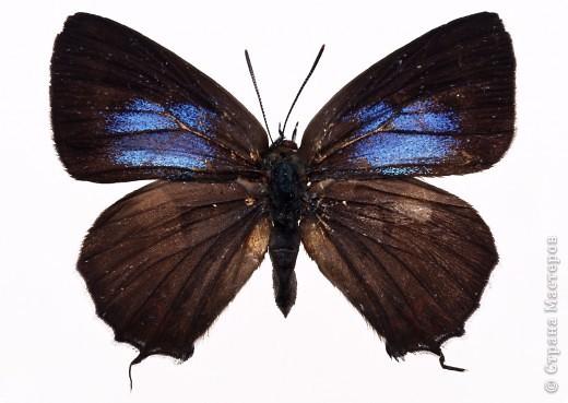 """По просьбам """"трудящихся"""" выкладываю фото настоящих бабочек. Может кого нибудь вдохновит на создания какого-нибудь шедевра. Включайте свою фантазию и творите - лепите и расписывайте ( как это сделала я), вышивайте, рисуйте и т.п.  Желаю всем удачи и творческого вдохновения! фото 72"""