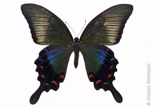 """По просьбам """"трудящихся"""" выкладываю фото настоящих бабочек. Может кого нибудь вдохновит на создания какого-нибудь шедевра. Включайте свою фантазию и творите - лепите и расписывайте ( как это сделала я), вышивайте, рисуйте и т.п.  Желаю всем удачи и творческого вдохновения! фото 73"""