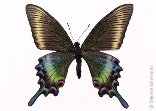 """По просьбам """"трудящихся"""" выкладываю фото настоящих бабочек. Может кого нибудь вдохновит на создания какого-нибудь шедевра. Включайте свою фантазию и творите - лепите и расписывайте ( как это сделала я), вышивайте, рисуйте и т.п.  Желаю всем удачи и творческого вдохновения! фото 74"""