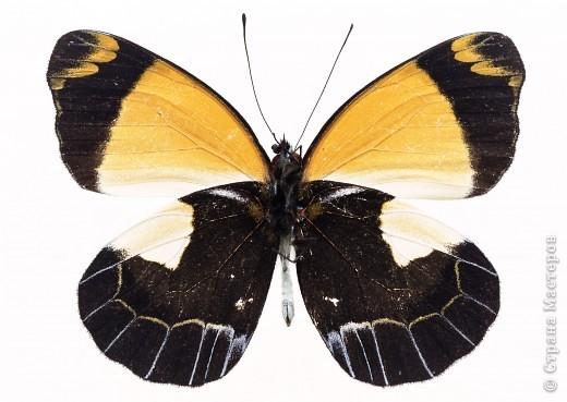"""По просьбам """"трудящихся"""" выкладываю фото настоящих бабочек. Может кого нибудь вдохновит на создания какого-нибудь шедевра. Включайте свою фантазию и творите - лепите и расписывайте ( как это сделала я), вышивайте, рисуйте и т.п.  Желаю всем удачи и творческого вдохновения! фото 75"""