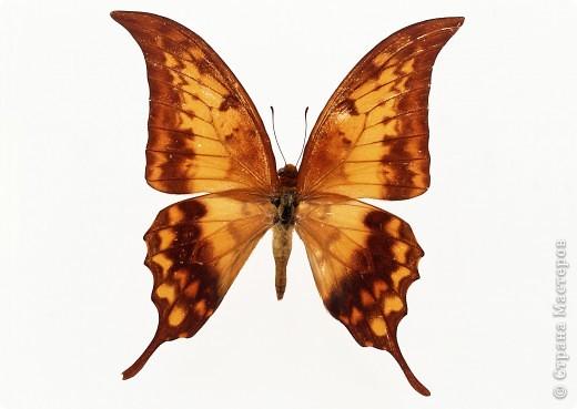 """По просьбам """"трудящихся"""" выкладываю фото настоящих бабочек. Может кого нибудь вдохновит на создания какого-нибудь шедевра. Включайте свою фантазию и творите - лепите и расписывайте ( как это сделала я), вышивайте, рисуйте и т.п.  Желаю всем удачи и творческого вдохновения! фото 76"""