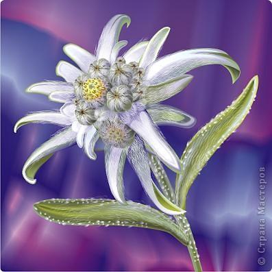 Там, высоко в горах, где в облаках прячеться солнышко, веет чистый,свежый и прохладный горный воздух растет удивительный цветок - Эдельвейс. фото 1