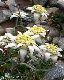 Там, высоко в горах, где в облаках прячеться солнышко, веет чистый,свежый и прохладный горный воздух растет удивительный цветок - Эдельвейс. фото 6