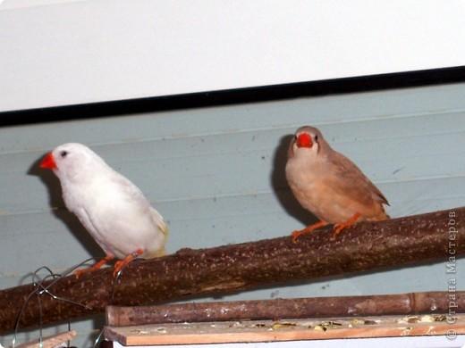 Уже знакомые Вам волнистые попугайчики http://stranamasterov.ru/node/170567 и те воробьинообразные, с кем Вы сейчас познакомитесь, живут на  этой веранде совершенно свободными.  Воробей мой, воробьишка!  Серый, юркий, словно мышка.  Глазки — бисер, лапки — врозь,  Лапки — боком, лапки — вкось...  Прыгай, прыгай, я не трону —  Видишь, хлебца накрошил...  Двинь-ка клювом в бок ворону,  Кто ее сюда просил?  Прыгни ближе, ну-ка, ну-ка,  Так, вот так, еще чуть-чуть...  Ветер сыплет снегом, злюка,  И на спинку, и на грудь.  Подружись со мной, пичужка,  Будем вместе в доме жить,  Сядем рядышком под вьюшкой,  Будем азбуку учить...  Ближе, ну еще немножко...  Фурх! Удрал... Какой нахал!  Съел все зерна, съел все крошки  И спасиба не сказал.  (1921) Саша Чёрный  фото 3
