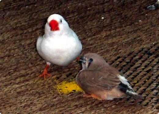 Уже знакомые Вам волнистые попугайчики http://stranamasterov.ru/node/170567 и те воробьинообразные, с кем Вы сейчас познакомитесь, живут на  этой веранде совершенно свободными.  Воробей мой, воробьишка!  Серый, юркий, словно мышка.  Глазки — бисер, лапки — врозь,  Лапки — боком, лапки — вкось...  Прыгай, прыгай, я не трону —  Видишь, хлебца накрошил...  Двинь-ка клювом в бок ворону,  Кто ее сюда просил?  Прыгни ближе, ну-ка, ну-ка,  Так, вот так, еще чуть-чуть...  Ветер сыплет снегом, злюка,  И на спинку, и на грудь.  Подружись со мной, пичужка,  Будем вместе в доме жить,  Сядем рядышком под вьюшкой,  Будем азбуку учить...  Ближе, ну еще немножко...  Фурх! Удрал... Какой нахал!  Съел все зерна, съел все крошки  И спасиба не сказал.  (1921) Саша Чёрный  фото 6