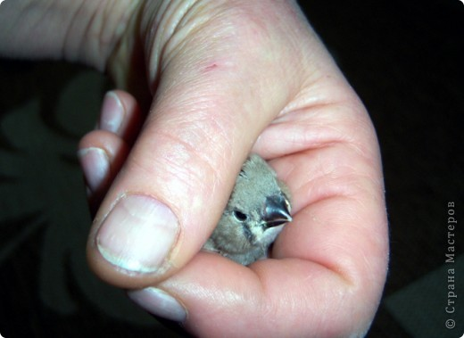 Уже знакомые Вам волнистые попугайчики http://stranamasterov.ru/node/170567 и те воробьинообразные, с кем Вы сейчас познакомитесь, живут на  этой веранде совершенно свободными.  Воробей мой, воробьишка!  Серый, юркий, словно мышка.  Глазки — бисер, лапки — врозь,  Лапки — боком, лапки — вкось...  Прыгай, прыгай, я не трону —  Видишь, хлебца накрошил...  Двинь-ка клювом в бок ворону,  Кто ее сюда просил?  Прыгни ближе, ну-ка, ну-ка,  Так, вот так, еще чуть-чуть...  Ветер сыплет снегом, злюка,  И на спинку, и на грудь.  Подружись со мной, пичужка,  Будем вместе в доме жить,  Сядем рядышком под вьюшкой,  Будем азбуку учить...  Ближе, ну еще немножко...  Фурх! Удрал... Какой нахал!  Съел все зерна, съел все крошки  И спасиба не сказал.  (1921) Саша Чёрный  фото 8