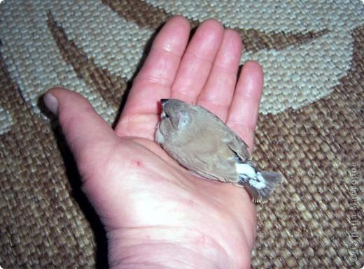 Уже знакомые Вам волнистые попугайчики http://stranamasterov.ru/node/170567 и те воробьинообразные, с кем Вы сейчас познакомитесь, живут на  этой веранде совершенно свободными.  Воробей мой, воробьишка!  Серый, юркий, словно мышка.  Глазки — бисер, лапки — врозь,  Лапки — боком, лапки — вкось...  Прыгай, прыгай, я не трону —  Видишь, хлебца накрошил...  Двинь-ка клювом в бок ворону,  Кто ее сюда просил?  Прыгни ближе, ну-ка, ну-ка,  Так, вот так, еще чуть-чуть...  Ветер сыплет снегом, злюка,  И на спинку, и на грудь.  Подружись со мной, пичужка,  Будем вместе в доме жить,  Сядем рядышком под вьюшкой,  Будем азбуку учить...  Ближе, ну еще немножко...  Фурх! Удрал... Какой нахал!  Съел все зерна, съел все крошки  И спасиба не сказал.  (1921) Саша Чёрный  фото 9