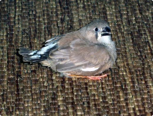 Уже знакомые Вам волнистые попугайчики http://stranamasterov.ru/node/170567 и те воробьинообразные, с кем Вы сейчас познакомитесь, живут на  этой веранде совершенно свободными.  Воробей мой, воробьишка!  Серый, юркий, словно мышка.  Глазки — бисер, лапки — врозь,  Лапки — боком, лапки — вкось...  Прыгай, прыгай, я не трону —  Видишь, хлебца накрошил...  Двинь-ка клювом в бок ворону,  Кто ее сюда просил?  Прыгни ближе, ну-ка, ну-ка,  Так, вот так, еще чуть-чуть...  Ветер сыплет снегом, злюка,  И на спинку, и на грудь.  Подружись со мной, пичужка,  Будем вместе в доме жить,  Сядем рядышком под вьюшкой,  Будем азбуку учить...  Ближе, ну еще немножко...  Фурх! Удрал... Какой нахал!  Съел все зерна, съел все крошки  И спасиба не сказал.  (1921) Саша Чёрный  фото 13