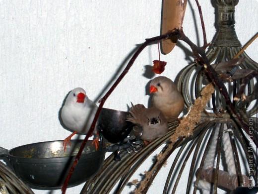 Уже знакомые Вам волнистые попугайчики http://stranamasterov.ru/node/170567 и те воробьинообразные, с кем Вы сейчас познакомитесь, живут на  этой веранде совершенно свободными.  Воробей мой, воробьишка!  Серый, юркий, словно мышка.  Глазки — бисер, лапки — врозь,  Лапки — боком, лапки — вкось...  Прыгай, прыгай, я не трону —  Видишь, хлебца накрошил...  Двинь-ка клювом в бок ворону,  Кто ее сюда просил?  Прыгни ближе, ну-ка, ну-ка,  Так, вот так, еще чуть-чуть...  Ветер сыплет снегом, злюка,  И на спинку, и на грудь.  Подружись со мной, пичужка,  Будем вместе в доме жить,  Сядем рядышком под вьюшкой,  Будем азбуку учить...  Ближе, ну еще немножко...  Фурх! Удрал... Какой нахал!  Съел все зерна, съел все крошки  И спасиба не сказал.  (1921) Саша Чёрный  фото 12