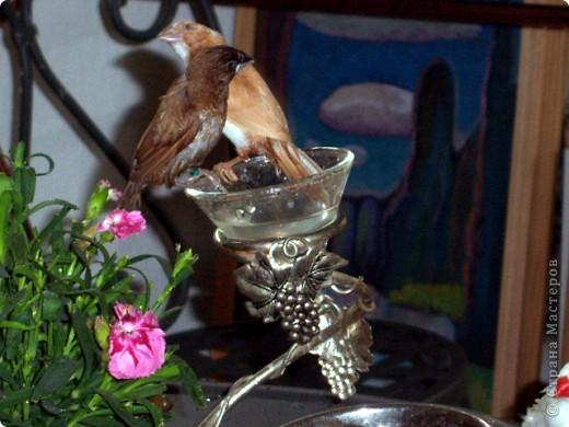Уже знакомые Вам волнистые попугайчики http://stranamasterov.ru/node/170567 и те воробьинообразные, с кем Вы сейчас познакомитесь, живут на  этой веранде совершенно свободными.  Воробей мой, воробьишка!  Серый, юркий, словно мышка.  Глазки — бисер, лапки — врозь,  Лапки — боком, лапки — вкось...  Прыгай, прыгай, я не трону —  Видишь, хлебца накрошил...  Двинь-ка клювом в бок ворону,  Кто ее сюда просил?  Прыгни ближе, ну-ка, ну-ка,  Так, вот так, еще чуть-чуть...  Ветер сыплет снегом, злюка,  И на спинку, и на грудь.  Подружись со мной, пичужка,  Будем вместе в доме жить,  Сядем рядышком под вьюшкой,  Будем азбуку учить...  Ближе, ну еще немножко...  Фурх! Удрал... Какой нахал!  Съел все зерна, съел все крошки  И спасиба не сказал.  (1921) Саша Чёрный  фото 19
