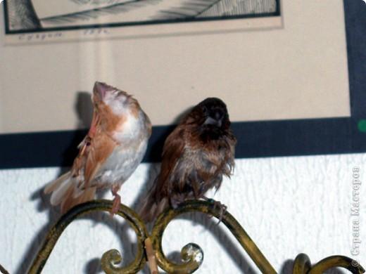 Уже знакомые Вам волнистые попугайчики http://stranamasterov.ru/node/170567 и те воробьинообразные, с кем Вы сейчас познакомитесь, живут на  этой веранде совершенно свободными.  Воробей мой, воробьишка!  Серый, юркий, словно мышка.  Глазки — бисер, лапки — врозь,  Лапки — боком, лапки — вкось...  Прыгай, прыгай, я не трону —  Видишь, хлебца накрошил...  Двинь-ка клювом в бок ворону,  Кто ее сюда просил?  Прыгни ближе, ну-ка, ну-ка,  Так, вот так, еще чуть-чуть...  Ветер сыплет снегом, злюка,  И на спинку, и на грудь.  Подружись со мной, пичужка,  Будем вместе в доме жить,  Сядем рядышком под вьюшкой,  Будем азбуку учить...  Ближе, ну еще немножко...  Фурх! Удрал... Какой нахал!  Съел все зерна, съел все крошки  И спасиба не сказал.  (1921) Саша Чёрный  фото 21