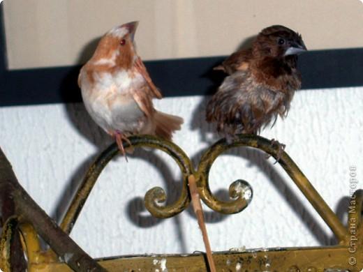 Уже знакомые Вам волнистые попугайчики http://stranamasterov.ru/node/170567 и те воробьинообразные, с кем Вы сейчас познакомитесь, живут на  этой веранде совершенно свободными.  Воробей мой, воробьишка!  Серый, юркий, словно мышка.  Глазки — бисер, лапки — врозь,  Лапки — боком, лапки — вкось...  Прыгай, прыгай, я не трону —  Видишь, хлебца накрошил...  Двинь-ка клювом в бок ворону,  Кто ее сюда просил?  Прыгни ближе, ну-ка, ну-ка,  Так, вот так, еще чуть-чуть...  Ветер сыплет снегом, злюка,  И на спинку, и на грудь.  Подружись со мной, пичужка,  Будем вместе в доме жить,  Сядем рядышком под вьюшкой,  Будем азбуку учить...  Ближе, ну еще немножко...  Фурх! Удрал... Какой нахал!  Съел все зерна, съел все крошки  И спасиба не сказал.  (1921) Саша Чёрный  фото 22