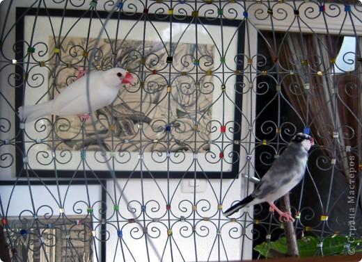 Уже знакомые Вам волнистые попугайчики http://stranamasterov.ru/node/170567 и те воробьинообразные, с кем Вы сейчас познакомитесь, живут на  этой веранде совершенно свободными.  Воробей мой, воробьишка!  Серый, юркий, словно мышка.  Глазки — бисер, лапки — врозь,  Лапки — боком, лапки — вкось...  Прыгай, прыгай, я не трону —  Видишь, хлебца накрошил...  Двинь-ка клювом в бок ворону,  Кто ее сюда просил?  Прыгни ближе, ну-ка, ну-ка,  Так, вот так, еще чуть-чуть...  Ветер сыплет снегом, злюка,  И на спинку, и на грудь.  Подружись со мной, пичужка,  Будем вместе в доме жить,  Сядем рядышком под вьюшкой,  Будем азбуку учить...  Ближе, ну еще немножко...  Фурх! Удрал... Какой нахал!  Съел все зерна, съел все крошки  И спасиба не сказал.  (1921) Саша Чёрный  фото 23