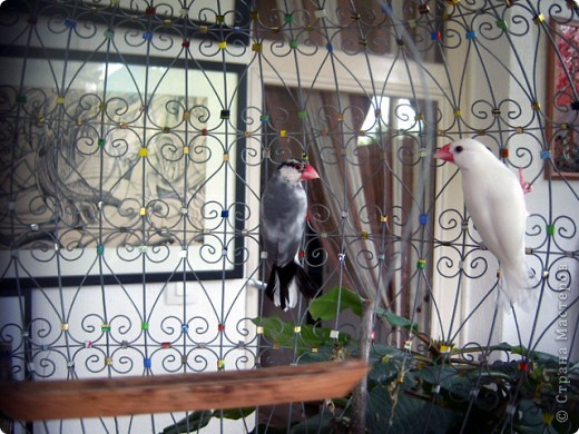Уже знакомые Вам волнистые попугайчики https://stranamasterov.ru/node/170567 и те воробьинообразные, с кем Вы сейчас познакомитесь, живут на  этой веранде совершенно свободными.  Воробей мой, воробьишка!  Серый, юркий, словно мышка.  Глазки — бисер, лапки — врозь,  Лапки — боком, лапки — вкось...  Прыгай, прыгай, я не трону —  Видишь, хлебца накрошил...  Двинь-ка клювом в бок ворону,  Кто ее сюда просил?  Прыгни ближе, ну-ка, ну-ка,  Так, вот так, еще чуть-чуть...  Ветер сыплет снегом, злюка,  И на спинку, и на грудь.  Подружись со мной, пичужка,  Будем вместе в доме жить,  Сядем рядышком под вьюшкой,  Будем азбуку учить...  Ближе, ну еще немножко...  Фурх! Удрал... Какой нахал!  Съел все зерна, съел все крошки  И спасиба не сказал.  (1921) Саша Чёрный  фото 24