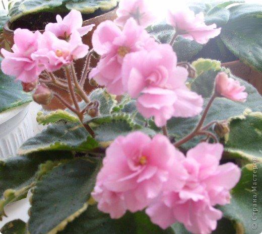 первые фиалки этой весны фото 1