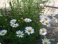 Цветочки в моем садочке фото 1