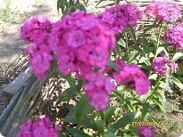 Цветочки в моем садочке фото 4