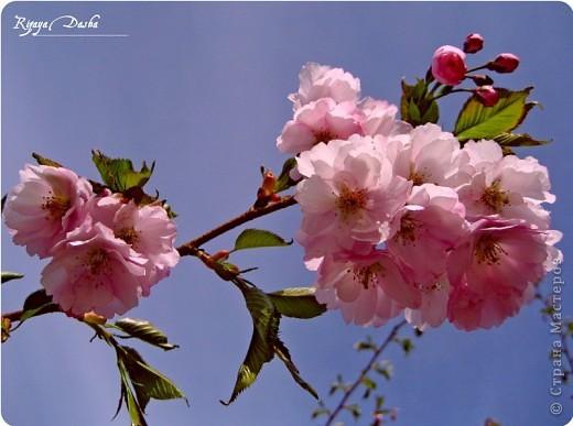 """Фото-панно """"Сакура цветет!Пришло весны очарование!"""" ...""""Печальна ли та Что восходящему солнцу во след Под сакурой нежно мечтает""""... Сакура (это вид вишни) прекрасна, многообразна и очень почитаема в Японии. Сделала небольшой МК (впервые) по изготовлению цветочков сакуры.Прошу прощения, если что не так. фото 18"""
