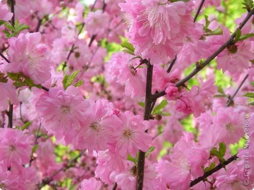 """Фото-панно """"Сакура цветет!Пришло весны очарование!"""" ...""""Печальна ли та Что восходящему солнцу во след Под сакурой нежно мечтает""""... Сакура (это вид вишни) прекрасна, многообразна и очень почитаема в Японии. Сделала небольшой МК (впервые) по изготовлению цветочков сакуры.Прошу прощения, если что не так. фото 22"""
