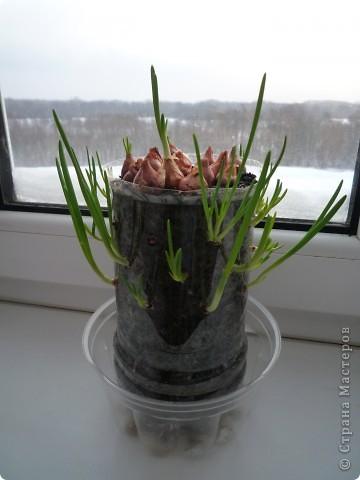 """Вот такая """"луковая пальма"""" выросла у нас подоконнике. Идея не моя - взята отсюда: http://luntiki.ru/blog/priroda/544.html я только повторила. фото 1"""