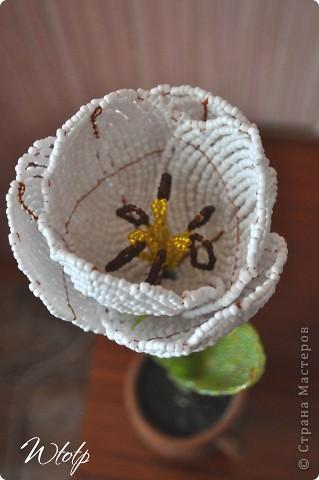 Тюльпан фото 4