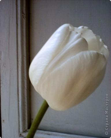 Тюльпан фото 3