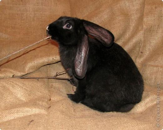 """Очень хочется поделиться новыми впечатлениями о нашем кролике, ведь не все так, как казалось! Здесь  начало этой истории http://stranamasterov.ru/node/134988 И вот, уже прошло чуть больше 4х месяцев, с появления этого ушастого чуда в нашем доме! Конечно, мы очень любим нашего кролика! Но сюрпризов с этим """"малышом"""" у нас хватает)))) Как видно по фото, кролик у нас.. мягко говоря, не карликовый, и даже не декоративный)))) как обещали в """"зоомагазине""""! Но самый большой сюрприз, и самый неожиданный, прояснился только вчера! Оказывается, наша Кнопочка, вовсе и не Кнопочка, а КНОП! Это, конечно, не повлияет на наши чувства к этому чуду, но.. Все же, я хотела именно девочку, по некоторым причинам.. Девочки не метят территорию! Их железы не имеют запаха! Они более привязчивы к людям (хотя и наш Кнопик очень ласковый и любит общение) Но, наш малыш, пока не имеет запаха, но территорию уже в нескольких местах пометил! Первое время, Кнопу хватало Катиной (старшая дочь) комнаты, а выход мы загораживали перегородкой. Но, малыш подрос, и теперь он настойчиво не признает такие ограниченные жизненные условия! Стал перепрыгивать перегородку, лапами шкрябать закрытую дверь.. и добился таки свободы! Гуляет по свему дому, кроме кухни! Туда сам не заходит.. Пока?! Но надеюсь, что в кухню он не пойдет, так как там очень много проводов!  И пометил несколько укромных мест, в том числе и коробку с детскими игрушками! Как бы говоря: это все мои владения! Еще, наш малыш любит бегать за ногами, получается игра в догонялки! А еще, когда кого-то встречает - жужжит и бегает вокруг ног!  А когда я сильно загрустила (история с зайкой шитой была...), он лапами расчесывал волосы и лизал лоб - это самое необычное из того, что он делал!! Могу описать его так: это смесь самой неугомонной и игривой собаки, кошки и лошади!!!! За минуту он оббежит все все все и громким топотом!!!! Любопытный, как Буратино)))  фото 7"""