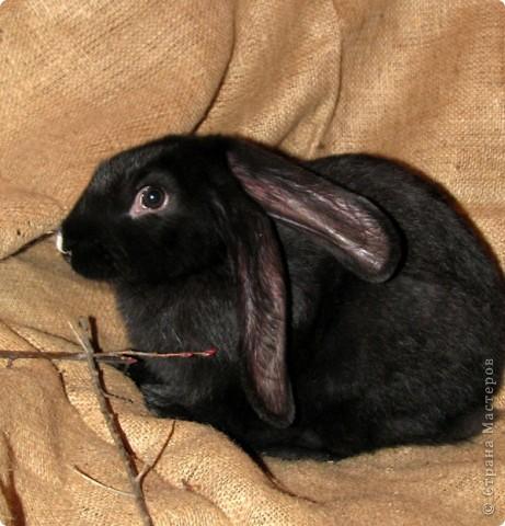 """Очень хочется поделиться новыми впечатлениями о нашем кролике, ведь не все так, как казалось! Здесь  начало этой истории http://stranamasterov.ru/node/134988 И вот, уже прошло чуть больше 4х месяцев, с появления этого ушастого чуда в нашем доме! Конечно, мы очень любим нашего кролика! Но сюрпризов с этим """"малышом"""" у нас хватает)))) Как видно по фото, кролик у нас.. мягко говоря, не карликовый, и даже не декоративный)))) как обещали в """"зоомагазине""""! Но самый большой сюрприз, и самый неожиданный, прояснился только вчера! Оказывается, наша Кнопочка, вовсе и не Кнопочка, а КНОП! Это, конечно, не повлияет на наши чувства к этому чуду, но.. Все же, я хотела именно девочку, по некоторым причинам.. Девочки не метят территорию! Их железы не имеют запаха! Они более привязчивы к людям (хотя и наш Кнопик очень ласковый и любит общение) Но, наш малыш, пока не имеет запаха, но территорию уже в нескольких местах пометил! Первое время, Кнопу хватало Катиной (старшая дочь) комнаты, а выход мы загораживали перегородкой. Но, малыш подрос, и теперь он настойчиво не признает такие ограниченные жизненные условия! Стал перепрыгивать перегородку, лапами шкрябать закрытую дверь.. и добился таки свободы! Гуляет по свему дому, кроме кухни! Туда сам не заходит.. Пока?! Но надеюсь, что в кухню он не пойдет, так как там очень много проводов!  И пометил несколько укромных мест, в том числе и коробку с детскими игрушками! Как бы говоря: это все мои владения! Еще, наш малыш любит бегать за ногами, получается игра в догонялки! А еще, когда кого-то встречает - жужжит и бегает вокруг ног!  А когда я сильно загрустила (история с зайкой шитой была...), он лапами расчесывал волосы и лизал лоб - это самое необычное из того, что он делал!! Могу описать его так: это смесь самой неугомонной и игривой собаки, кошки и лошади!!!! За минуту он оббежит все все все и громким топотом!!!! Любопытный, как Буратино)))  фото 8"""
