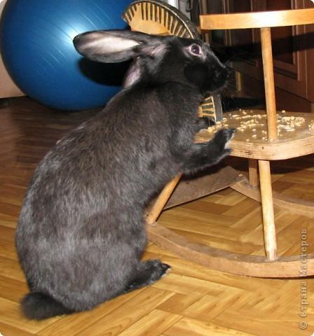 """Очень хочется поделиться новыми впечатлениями о нашем кролике, ведь не все так, как казалось! Здесь  начало этой истории http://stranamasterov.ru/node/134988 И вот, уже прошло чуть больше 4х месяцев, с появления этого ушастого чуда в нашем доме! Конечно, мы очень любим нашего кролика! Но сюрпризов с этим """"малышом"""" у нас хватает)))) Как видно по фото, кролик у нас.. мягко говоря, не карликовый, и даже не декоративный)))) как обещали в """"зоомагазине""""! Но самый большой сюрприз, и самый неожиданный, прояснился только вчера! Оказывается, наша Кнопочка, вовсе и не Кнопочка, а КНОП! Это, конечно, не повлияет на наши чувства к этому чуду, но.. Все же, я хотела именно девочку, по некоторым причинам.. Девочки не метят территорию! Их железы не имеют запаха! Они более привязчивы к людям (хотя и наш Кнопик очень ласковый и любит общение) Но, наш малыш, пока не имеет запаха, но территорию уже в нескольких местах пометил! Первое время, Кнопу хватало Катиной (старшая дочь) комнаты, а выход мы загораживали перегородкой. Но, малыш подрос, и теперь он настойчиво не признает такие ограниченные жизненные условия! Стал перепрыгивать перегородку, лапами шкрябать закрытую дверь.. и добился таки свободы! Гуляет по свему дому, кроме кухни! Туда сам не заходит.. Пока?! Но надеюсь, что в кухню он не пойдет, так как там очень много проводов!  И пометил несколько укромных мест, в том числе и коробку с детскими игрушками! Как бы говоря: это все мои владения! Еще, наш малыш любит бегать за ногами, получается игра в догонялки! А еще, когда кого-то встречает - жужжит и бегает вокруг ног!  А когда я сильно загрустила (история с зайкой шитой была...), он лапами расчесывал волосы и лизал лоб - это самое необычное из того, что он делал!! Могу описать его так: это смесь самой неугомонной и игривой собаки, кошки и лошади!!!! За минуту он оббежит все все все и громким топотом!!!! Любопытный, как Буратино)))  фото 1"""