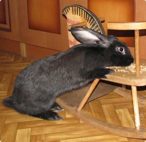 """Очень хочется поделиться новыми впечатлениями о нашем кролике, ведь не все так, как казалось! Здесь  начало этой истории http://stranamasterov.ru/node/134988 И вот, уже прошло чуть больше 4х месяцев, с появления этого ушастого чуда в нашем доме! Конечно, мы очень любим нашего кролика! Но сюрпризов с этим """"малышом"""" у нас хватает)))) Как видно по фото, кролик у нас.. мягко говоря, не карликовый, и даже не декоративный)))) как обещали в """"зоомагазине""""! Но самый большой сюрприз, и самый неожиданный, прояснился только вчера! Оказывается, наша Кнопочка, вовсе и не Кнопочка, а КНОП! Это, конечно, не повлияет на наши чувства к этому чуду, но.. Все же, я хотела именно девочку, по некоторым причинам.. Девочки не метят территорию! Их железы не имеют запаха! Они более привязчивы к людям (хотя и наш Кнопик очень ласковый и любит общение) Но, наш малыш, пока не имеет запаха, но территорию уже в нескольких местах пометил! Первое время, Кнопу хватало Катиной (старшая дочь) комнаты, а выход мы загораживали перегородкой. Но, малыш подрос, и теперь он настойчиво не признает такие ограниченные жизненные условия! Стал перепрыгивать перегородку, лапами шкрябать закрытую дверь.. и добился таки свободы! Гуляет по свему дому, кроме кухни! Туда сам не заходит.. Пока?! Но надеюсь, что в кухню он не пойдет, так как там очень много проводов!  И пометил несколько укромных мест, в том числе и коробку с детскими игрушками! Как бы говоря: это все мои владения! Еще, наш малыш любит бегать за ногами, получается игра в догонялки! А еще, когда кого-то встречает - жужжит и бегает вокруг ног!  А когда я сильно загрустила (история с зайкой шитой была...), он лапами расчесывал волосы и лизал лоб - это самое необычное из того, что он делал!! Могу описать его так: это смесь самой неугомонной и игривой собаки, кошки и лошади!!!! За минуту он оббежит все все все и громким топотом!!!! Любопытный, как Буратино)))  фото 2"""