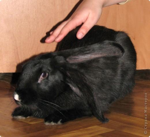 """Очень хочется поделиться новыми впечатлениями о нашем кролике, ведь не все так, как казалось! Здесь  начало этой истории http://stranamasterov.ru/node/134988 И вот, уже прошло чуть больше 4х месяцев, с появления этого ушастого чуда в нашем доме! Конечно, мы очень любим нашего кролика! Но сюрпризов с этим """"малышом"""" у нас хватает)))) Как видно по фото, кролик у нас.. мягко говоря, не карликовый, и даже не декоративный)))) как обещали в """"зоомагазине""""! Но самый большой сюрприз, и самый неожиданный, прояснился только вчера! Оказывается, наша Кнопочка, вовсе и не Кнопочка, а КНОП! Это, конечно, не повлияет на наши чувства к этому чуду, но.. Все же, я хотела именно девочку, по некоторым причинам.. Девочки не метят территорию! Их железы не имеют запаха! Они более привязчивы к людям (хотя и наш Кнопик очень ласковый и любит общение) Но, наш малыш, пока не имеет запаха, но территорию уже в нескольких местах пометил! Первое время, Кнопу хватало Катиной (старшая дочь) комнаты, а выход мы загораживали перегородкой. Но, малыш подрос, и теперь он настойчиво не признает такие ограниченные жизненные условия! Стал перепрыгивать перегородку, лапами шкрябать закрытую дверь.. и добился таки свободы! Гуляет по свему дому, кроме кухни! Туда сам не заходит.. Пока?! Но надеюсь, что в кухню он не пойдет, так как там очень много проводов!  И пометил несколько укромных мест, в том числе и коробку с детскими игрушками! Как бы говоря: это все мои владения! Еще, наш малыш любит бегать за ногами, получается игра в догонялки! А еще, когда кого-то встречает - жужжит и бегает вокруг ног!  А когда я сильно загрустила (история с зайкой шитой была...), он лапами расчесывал волосы и лизал лоб - это самое необычное из того, что он делал!! Могу описать его так: это смесь самой неугомонной и игривой собаки, кошки и лошади!!!! За минуту он оббежит все все все и громким топотом!!!! Любопытный, как Буратино)))  фото 5"""