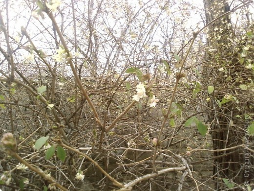 Вот обещанный мной фоторепортаж. Насмотрелась на холодную весну в России, и захотелось показать малую часть той красоты весны, которая сейчас есть в Крыму. Это верба, фотографировала в Феодосии, уже вся зацвела, почти не найти такую, чтобы была не опыленной, чувствую в этом году на вербное воскресенье не видать нам вербы, будет, наверное, очень дорого стоить... фото 7