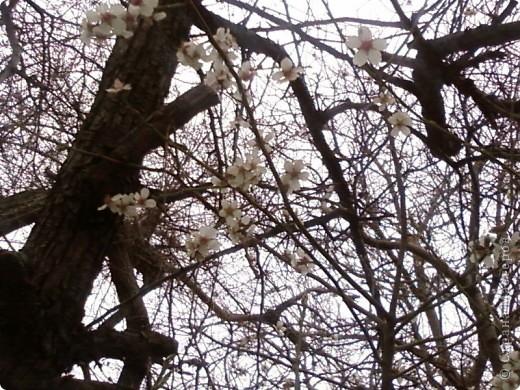 Вот обещанный мной фоторепортаж. Насмотрелась на холодную весну в России, и захотелось показать малую часть той красоты весны, которая сейчас есть в Крыму. Это верба, фотографировала в Феодосии, уже вся зацвела, почти не найти такую, чтобы была не опыленной, чувствую в этом году на вербное воскресенье не видать нам вербы, будет, наверное, очень дорого стоить... фото 3